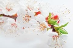 """Фотошпалери """"Гілка з квітами вишні"""" (#1600100)"""