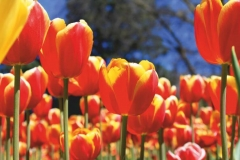 "Фотошпалери ""Тюльпанове поле"" (#160014)"