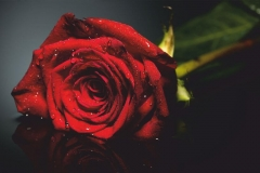 "Фотошпалери ""Троянда"" (#160022)"