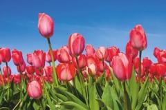 "Фотошпалери ""Тюльпанове поле"" (#160025)"
