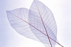 "Фотошпалери ""Transparent Leaf"" (#160078)"