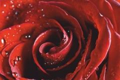 "Фотошпалери ""Троянда і краплі роси"" (#160085)"