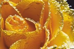 "Фотошпалери ""Жовта троянда"" (#160087)"