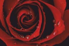 "Фотошпалери ""Троянда і краплі роси"" (#160088)"
