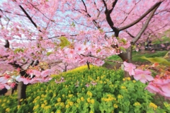"""Фотошпалери """"Квіти вишні"""" (#160096)"""