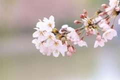 """Фотошпалери """"Гілка з квітами вишні"""" (#160097)"""