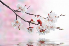"""Фотошпалери """"Гілка з квітами вишні"""" (#160098)"""