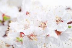 """Фотошпалери """"Гілка з квітами вишні"""" (#160099)"""