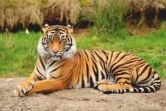 """Фотошпалери """"Тигр"""" (#70001)"""