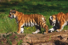 "Фотошпалери ""Тигри"" (#70002)"