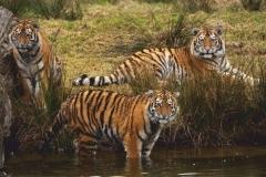 "Фотошпалери ""Тигри"" (#70003)"