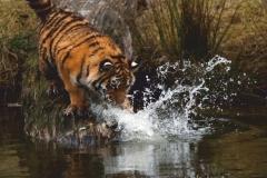 """Фотошпалери """"Тигр"""" (#70004)"""