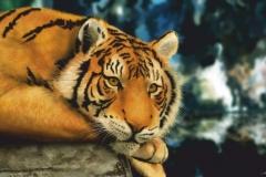 """Фотошпалери """"Тигр"""" (#70014)"""