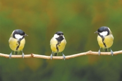 "Фотошпалери ""Пташки на гілці"" (#70046)"