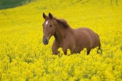 """Фотошпалери """"Кінь в полі"""" (#70054)"""