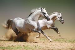 """Фотошпалери """"Дикі коні"""" (#70059)"""